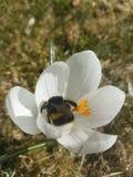 Abeille heureuse en fleur Photographie stock libre de droits