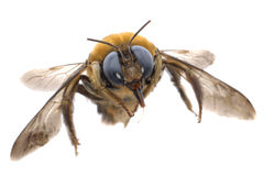 Abeille humble d'insecte images stock