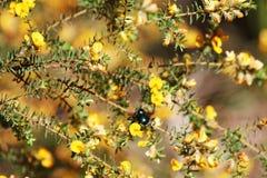 Abeille indigène dans le buisson jaune de maleuca Photos libres de droits