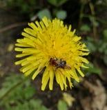 Abeille ? la fleur photo libre de droits