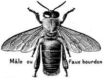 abeille-male-OA Royalty Free Stock Photography
