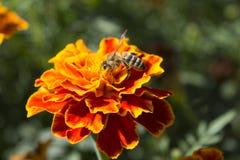 Abeille mangeant du miel Photographie stock