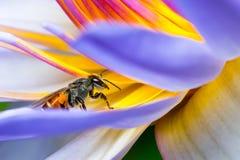 Abeille mangeant du sirop dans Lotus Photo stock