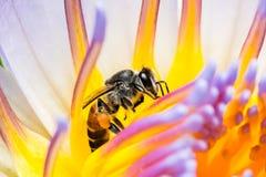 Abeille mangeant du sirop en fleur de Lotus Photographie stock libre de droits