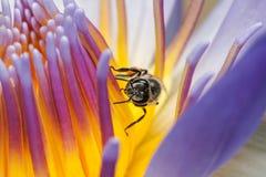 Abeille mangeant du sirop en fleur de Lotus Image stock