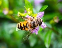Abeille mangeant le pollen images stock