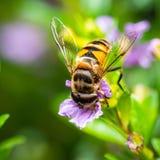 Abeille mangeant le pollen photo stock