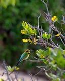 Abeille-mangeur australien d'arc-en-ciel photos stock