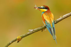 Abeille-mangeur européen, apiaster de Merops, bel oiseau se reposant sur la branche avec la libellule dans la facture Scène d'ois images stock