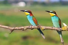 Abeille-mangeur européen coloré de couples s'asseyant sur un fond de vert de branche Photographie stock libre de droits