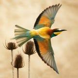 Abeille-mangeur européen en vol sur un beau fond Photos stock