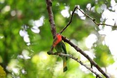 Abeille-mangeur Rouge-barbu Image libre de droits
