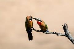 Abeille-mangeurs affrontés blancs alimentant à eacht autre Photographie stock libre de droits