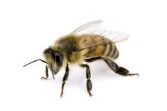 Abeille, mellifera d'api Photographie stock libre de droits