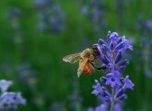 Abeille à miel rassemblant le nectar Images libres de droits