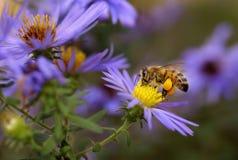 Abeille à miel sur l'aster Image libre de droits
