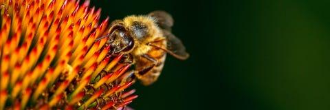 Abeille ? miel sur la fleur images libres de droits