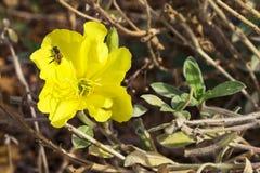 Abeille minuscule sur une oenothère biennale jaune photographie stock libre de droits