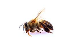 Abeille morte de miel Photo stock