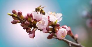 Abeille obtenant le nectar Image libre de droits