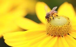 Abeille occidentale de miel (mellifera d'api) image libre de droits