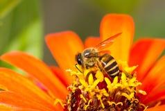 Abeille occupée sur la fleur orange Photo libre de droits