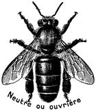 abeille-ouvriere-OA Stock Photos