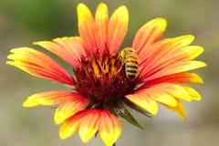 Abeille parmi des fleurs photos stock