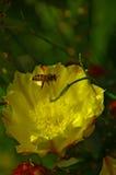Abeille planant au-dessus de la fleur Images stock