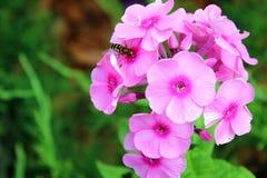 Abeille polinating la fleur pourpre Photographie stock libre de droits