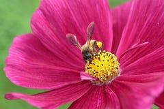 Abeille pollinisée de la fleur rouge Photos libres de droits
