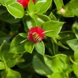 Abeille pollinisant l'arrière cour images stock