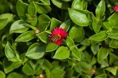 Abeille pollinisant l'arrière cour image stock