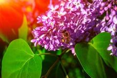 Abeille pollinisant la fleur lilas au suset photo stock