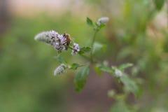 Abeille pollinisant la fleur mauve-clair Image stock