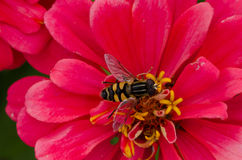 Abeille pollinisant la fleur rose de Zinnia Photos stock