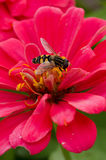Abeille pollinisant la fleur rose de Zinnia Image libre de droits