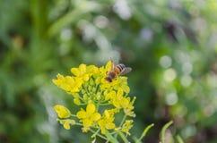 Abeille pollinisant Pak Choi Blossoms photo libre de droits