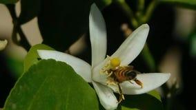 Abeille pollinisant un arbre orange fleurissant banque de vidéos