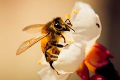 Abeille pollinisant une fleur Photo libre de droits