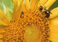 Abeille pollinisant une fleur Images stock