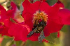 Abeille pollinisant une fleur Photos libres de droits