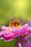 Abeille rassemblant le miel photographie stock libre de droits