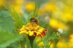 Abeille rassemblant le miel images stock