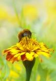 Abeille rassemblant le miel image stock