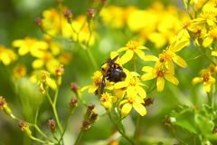 Abeille rassemblant le nacter Images stock