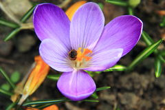 Abeille rassemblant le nectar en fleur pourprée Photos stock