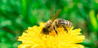 Abeille rassemblant le nectar ou le miel sur le pissenlit Photographie stock