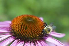 Abeille rassemblant le pollen Images libres de droits