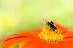 Abeille rassemblant le pollen Photos libres de droits